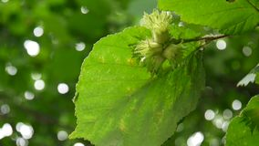 Hazelnuts on the branch close up. HD video footage. Static camera stock footage