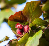 Hazelnuts on a branch Royalty Free Stock Photography