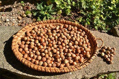 Hazelnuts in a brown basket Royalty Free Stock Images