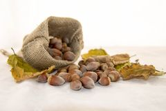 Hazelnuts and dry leaves in a rustic bag on a white background. Autumn is here. Dry leaves and ripe fruits are coming. Hazelnuts  and dry leaves in a rustic bag Royalty Free Stock Photo