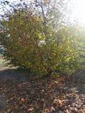 Hazelnuts drzewo zdjęcia royalty free