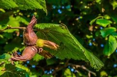 Hazelnuts drzewo Fotografia Stock