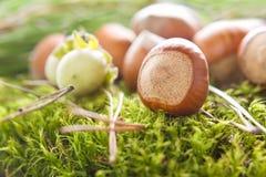 Hazelnuts (filbert). On the moss Royalty Free Stock Photography