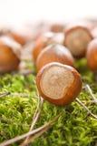 Hazelnuts (filbert). On the moss Royalty Free Stock Photo
