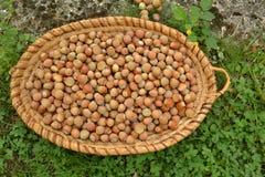 Hazelnuts in the garden Royalty Free Stock Photos