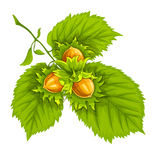 Hazelnuts on green leaves Stock Photo