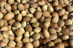 Hazelnuts harvested in the woods Royalty Free Stock Images