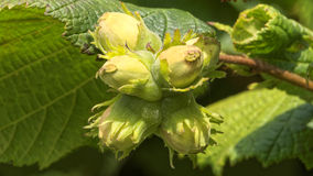 Hazelnuts on a hazel tree stock photos