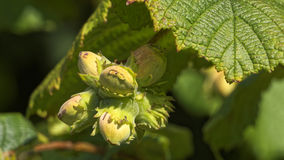 Hazelnuts on a hazel tree stock photo