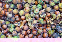 Hazelnuts.Just from the forest. Food background. Healthy fruit Royalty Free Stock Photos