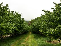 Hazelnuts in the Langhe. Hazelnuts in Cortemilia, Piedmont, Italy Royalty Free Stock Photo