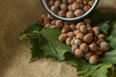 Hazelnuts. On a leaf background Stock Image
