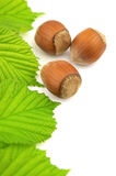 Hazelnuts with leaves Stock Image