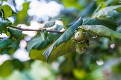 Hazelnuts na drzewie przy latem fotografia stock