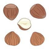 Hazelnuts. Set of vector hazelnuts, shelled and whole. Stock Photo