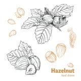 Hazelnuts vector hand-drawn illustration royalty free stock image