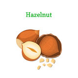 Hazelnuts vector illustration of a handful  walnut peeled nuts and in shell isolated on white background it can be used. Hazelnuts vector illustration of a Royalty Free Stock Images