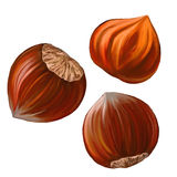 Hazelnuts vector illustration   painted watercolor Stock Photos