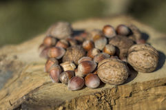 Hazelnuts and walnuts Stock Image
