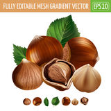 Hazelnuts on white background. Vector illustration Royalty Free Stock Photo
