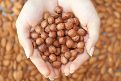 Hazelnuts in hands Royalty Free Stock Image