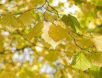Hazels (Corylus); autumn foliage. Hazels (Corylus); yellow autumn foliage royalty free stock photos