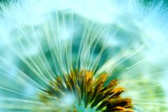 Hazy concept of a dandelion Royalty Free Stock Images