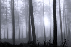 Hazy forest Royalty Free Stock Images