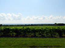 Green Grape Vines grow under hot FingerLakes summer sun. Hazy, hot and humid conditions over Seneca Lake show an approaching storm. Nearly three dozen wineries stock photo