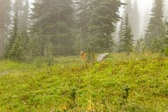 hazy mist covered meadow with deer feeding in morning royalty free stock photography
