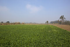 Hazy punjabi landscape. Agricultural landscape with wheat field trees and vegetation in the punjab india under a hazy blue sky Stock Photos