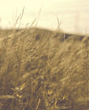 Hazy Stalks. Hazy and dreamy image of wild grasses Royalty Free Stock Photography