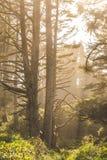 Hazy sunlight in coastal forest. Warm, hazy sunlight in a coastal forest with tall, mature trees. Newport, Oregon, USA stock image