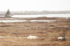 Hazy Tundra: Lake, Evergreens, Sleepy Polar Bears stock image