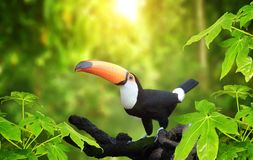HBeautiful colorful toucan bird. Beautiful colorful toucan bird Ramphastidae on a branch in a rainforest. On blurred background of green color royalty free stock photos