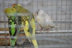 Hübsche Vögel im Mann machten Käfig Stockfotos