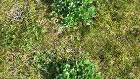 HD无缝的背景,有三叶草补丁的草甸 库存图片