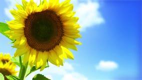 HD: Красочное поле солнцецветов и темносинее небо акции видеоматериалы
