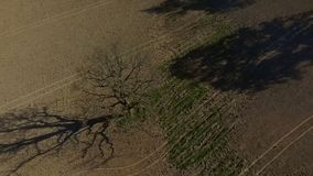 HD Aerial dron footage single tree, old oak in the field, slow motion. HD Aerial dron footage single tree, old oak in the field. Slow motion. Shooting in early stock video footage
