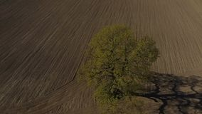 HD Aerial footage single tree, old oak in the field. Shooting in early spring, a field without foliage. frames shot on a dji phantom stock video footage