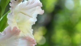HD-closeupskott av naturen för gräsplan för ob för vita blommor för skönhet stock video