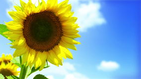 HD : Colorful Sunflowers field and deep blue Sky stock video footage
