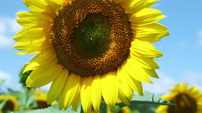 HD : Colorful Sunflowers field and deep blue Sky Stock Photos