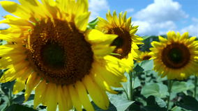 HD : Colorful Sunflowers field and deep blue Sky stock video