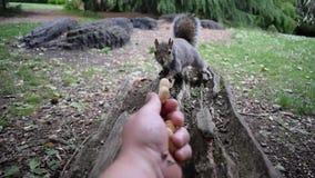 HD de video van Eekhoorn die Hand Fed Peanuts, klinkt Verwijderd zijn stock video