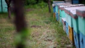 HD dichte omhooggaande mening van moeras van bijen die in en uit blauwe bijenkorven vliegen stock videobeelden