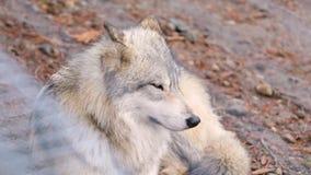 Hd do lúpus de canis do lobo cinzento imagens de stock