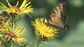 Hd florece la mariposa almacen de metraje de vídeo