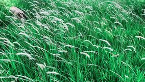 Hd footage of white color pennisetum polystachion or mission grass or feather pennisetum flower. stock footage