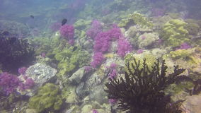 HD Format : under water shot of prolific teaming coral reef landscape, full of schooling fish and colorful softcorals. HD Format : under water shot of prolific stock footage